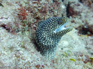 spotted-moray